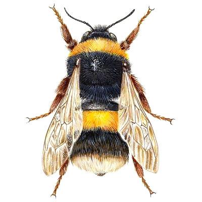 Realistic Bumble Bee Tattoo Design