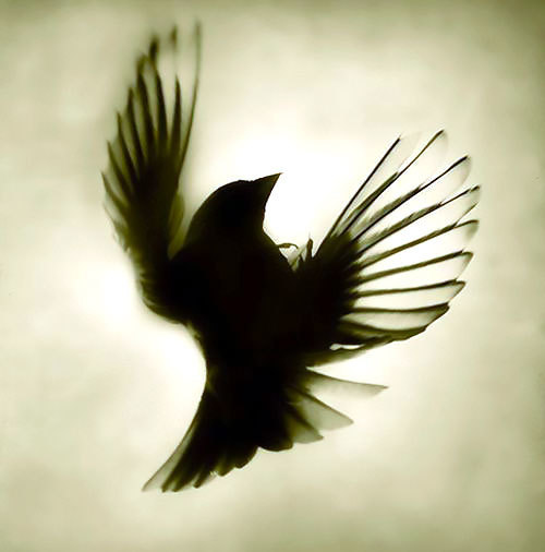Blackbird Shadow Tattoo Design