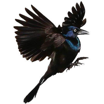 Soaring Blackbird Tattoo Design