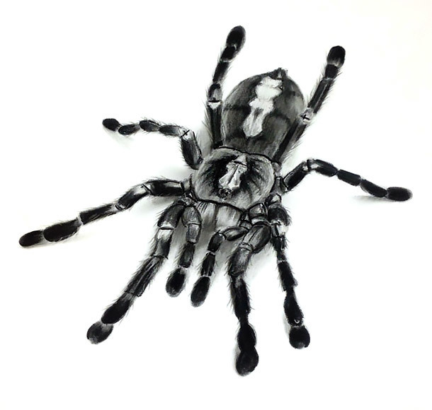 Tarantula Tattoo Sketch Tattoo Design