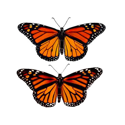 Monarch Butterflies Tattoo Design